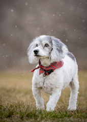 Cockapoo in the falling snow