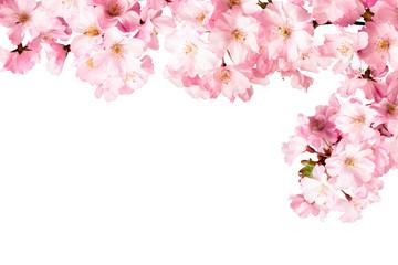 Rosa Kirschblüten Freisteller vor weißem Hintergrund