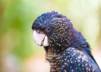 Portrait of an Red-tailed Black Cockatoo, Australian native bird