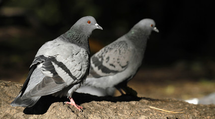 Couple of feral pigeons Columba livia domestica walking on the ground in Finland.