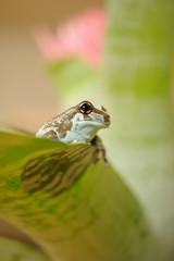 Mission golden-eyed tree frog. Amazonian rainforrest frog.