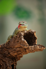 Ocellated lizard standing on tree branch with tongue