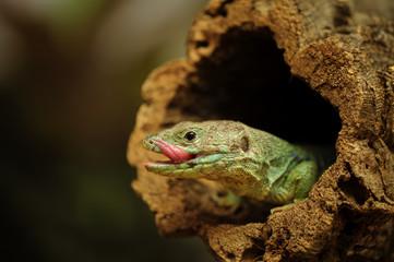 Ocellated lizard in tree branch hole