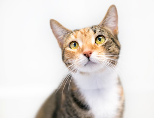 Portrait of a Calico domestic shorthair cat