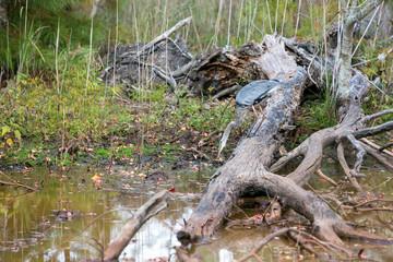 A Great Blue Heron (Ardea herodias) fishing at Blackwater National Wildlife Refuge, Maryland