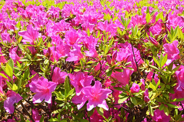 Wild azaleas bloom in spring