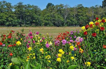Colorful dahlia garden