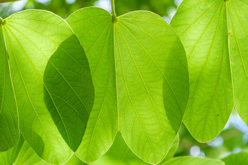 large green leaves with sunlight shining through