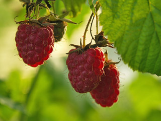 Ripened raspberries on a branch