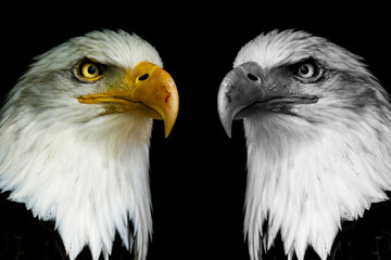 Wall Mural - Two face eagles with black shine.  ((Haliaeetus albicilla)