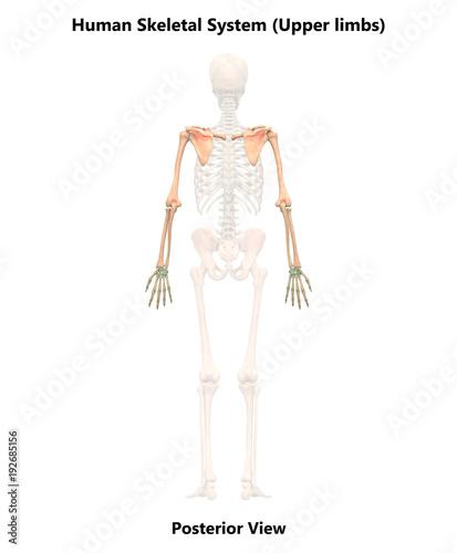 human skeleton system upper limbs anatomy posterior view fotolia