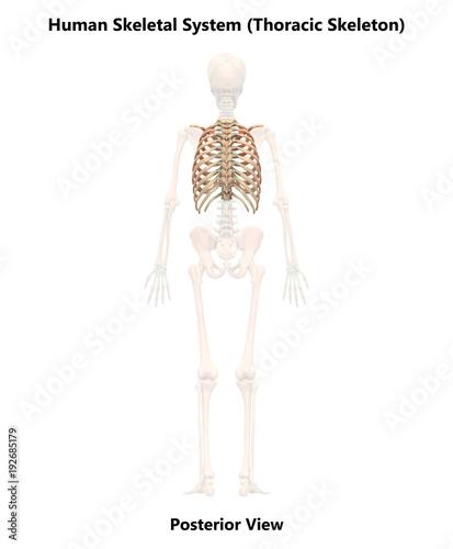 Human Skeleton System Thoracic Skeleton Anatomy (Posterior View ...