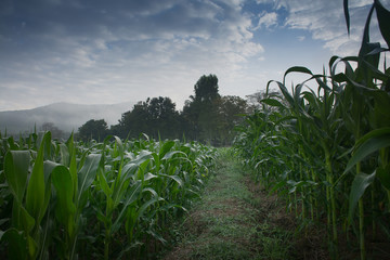 A picture of landscape green cornfield plantation with sunset light in Thailand.