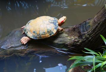 Красноухая черепаха пресноводная