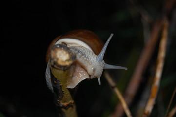 Helix pomatia, snail