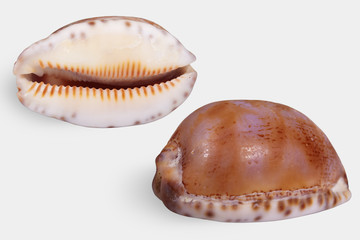 "Two views of a seashell ""Palmadusta androyensis"" (Family Cypraeidae) close-up on white background isolated."