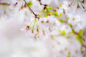 淡い満開の桜と蜂