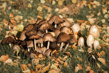 Fungus and Leaves in The Grass in Fall