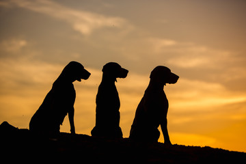 three Weimaraner dogs are sitting in nature yellow background at sunset