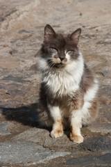 Tenerife cat