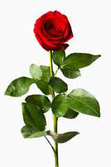 flower of a red rose on a white background isolate
