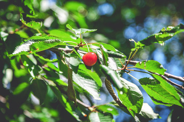 Ripe red cherries weigh on branch with green leaves