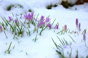 Pale purple crocus flowers under snow blanket. February in Germany.