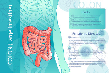Vector diagram illustration of the human colon
