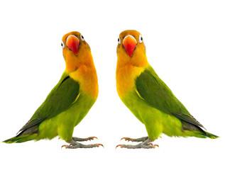 Fond de hotte en verre imprimé Perroquets two fischeri lovebird