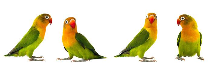 Printed roller blinds Bird fischeri lovebirds