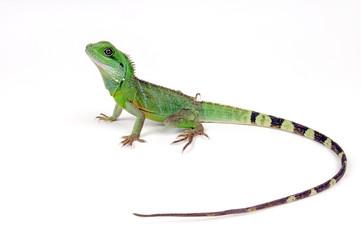 Grüne Wasserdrache (Physignathus cocincinus) - green water dragon
