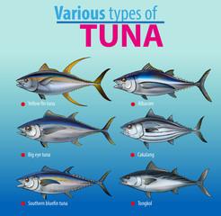 Vector illustration, various type of tuna fish
