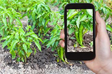 tourist photographs green chili pepper bushes