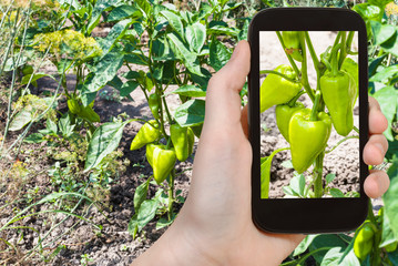 tourist photographs sweet green pepper bushes