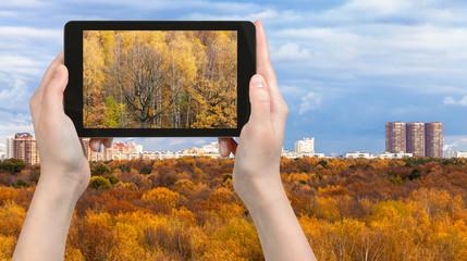 tourist photographs yellow woods in autumn