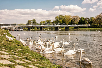 Beautiful Swans on river side with bridge, Piestany, yellow filter