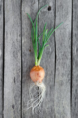 Sprouted onion head on old wooden background