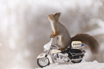 red squirrel on a police motor cycle