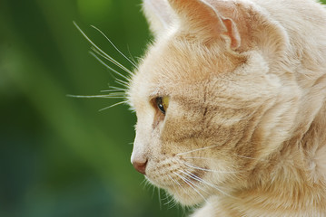 Portrait of an orange cat outside in summer with a beautiful background