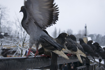 pigeons on the fence in winter