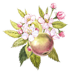 Watercolor hand drawn apple. Eco natural food fruit illustration. Botanical illustration isolated on white background.