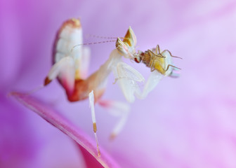 Hymenopus coronatus nymph L2 mantis macro with prey on orchid flower