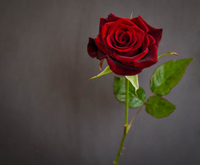 beautiful  single dark red  rose on dark background