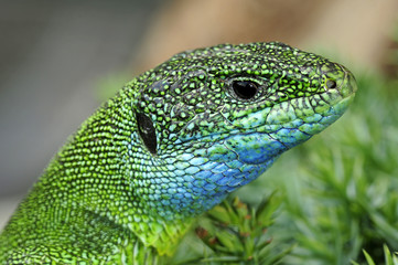 Smaragdeidechse (Lacerta viridis) - European green lizard