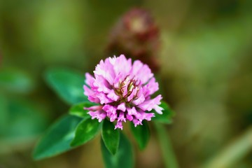 Blooming clover flower.