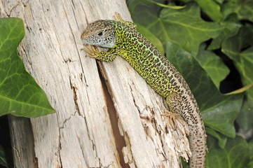 Iberische Smaragdeidechse (Lacerta schreiberi) - Iberian emerald lizard