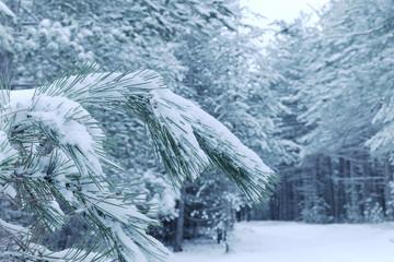 Fototapete - Snowy Needles Pine Tree in Etna Park, Sicily