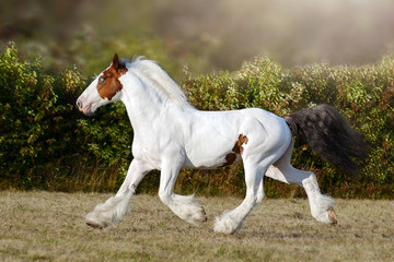 Pinto horse running on the field in summer background