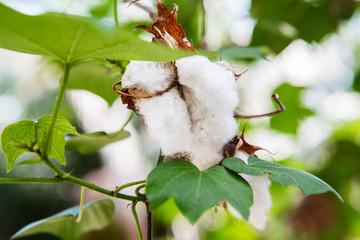 Ripe cotton balls on the cotton tree branch