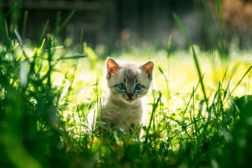 Small kitten with blue ayes in green grass on garden close up. Animal photography